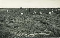 Harvesting parsley in the Lower Rio Grande Valley, McAllen, Texas
