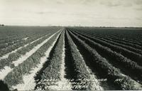 Carrot field in the Lower Rio Grande Valley, McAllen, Texas