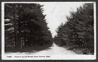 Pines on the old Shaker Road, Shirley, Mass